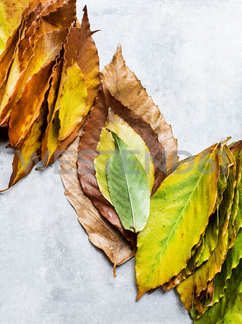 Gathered leaves ordered into autumn colours, still life, overhead view - CUF47948