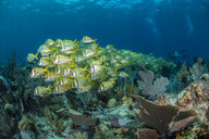 Reef life, diver in background, Alacranes, Campeche, Mexico - CUF48044