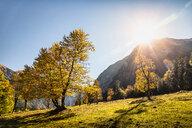 Sunlight through ancient maple trees, Karwendel region, Hinterriss, Tirol, Austria - CUF48310