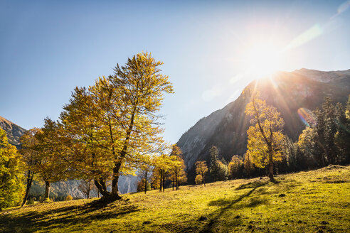 Sunlight through ancient maple trees, Karwendel region, Hinterriss, Tirol, Austria - CUF48310