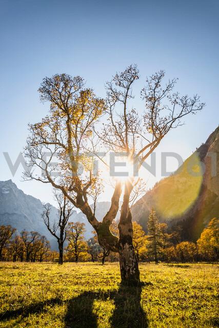 Sunlight through ancient maple trees, Karwendel region, Hinterriss, Tirol, Austria - CUF48313