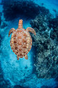 Green sea turtle, Cozumel, Quintana Roo, Mexico - ISF20442
