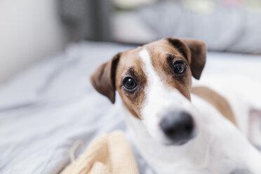 Wickede, NRW, Deutschland. Nahaufnahme von Jack Russell Terrier Hund - KMKF00722