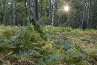 Germany, Bergkamen, Beversee nature reserve, fern in birch forest - WIF03747