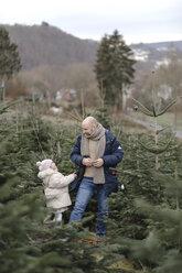 Arnsberg, NRW, Deutschland. Ein Vater mit der Tochter schmücken einen Weihnachtsbaum auf der Weihnachtsbaum-Plantage - KMKF00727