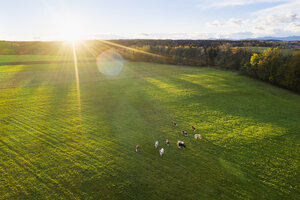 Germany, Bavaria, Thanning near Egling, cows on pasture at sunrise, drone view - SIEF08352