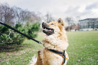 Eurasier looking away in park - ASTF02654