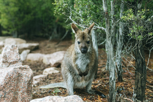 Australia, Tasmania, Wallaby in Freycinet National Park, Tasmania. - KIJF02196