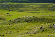 Montenegro, Durmitor National Park, flock of sheep on mountain pasture - SIEF08370