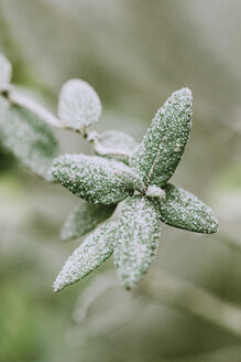 Close up of rose shrub with green leaves covered in frost in wintry garden - LSF00080