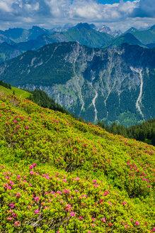 Alpenrosenbluete, Panorama vom Fellhorn, 2038m, zur Hoefats, 2259m, und weitere Allgaeuer Berge, Allgaeuer Alpen, Allgaeu, Bayern, Deutschland, Europa - WGF01293