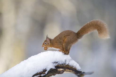 Eurasian red squirrel with nut on snow-covered tree trunk - MJOF01656