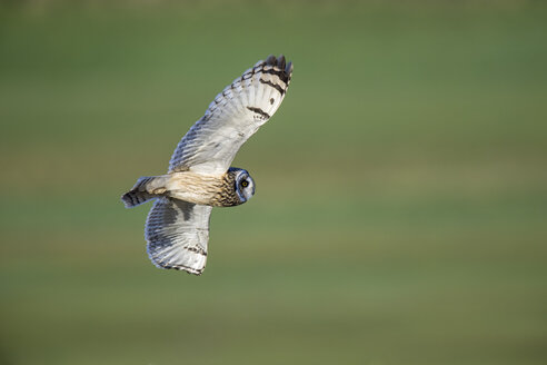 Flying Short-eared owl - MJOF01659