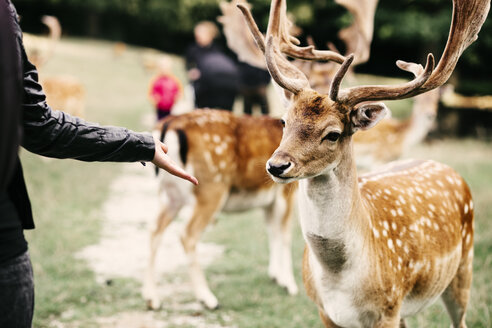 Midsection of woman holding out palm towards deer at zoo - ASTF02770