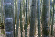 Close up of bamboo plants, Bamboo forest, Japan. - MINF10070
