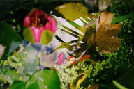 Water lily in pond - ALEF00090