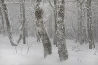 France, Alsace, Nature reserve Frankenthal-Missheimle, snow-covered tree trunks - SGF02221