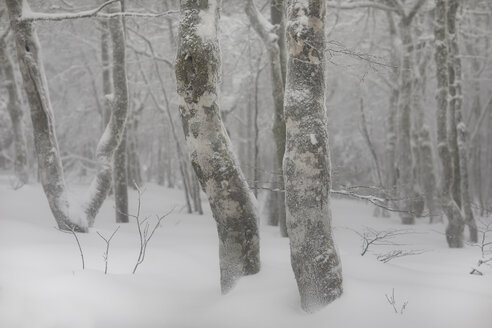 France, Alsace, Nature reserve Frankenthal-Missheimle, snow-covered tree trunks - SGF02221