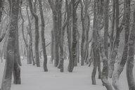 France, Alsace, Nature reserve Frankenthal-Missheimle, snow-covered tree trunks - SGF02224