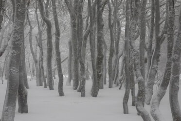 France, Alsace, Nature reserve Frankenthal-Missheimle, snow-covered tree trunks - SGF02224