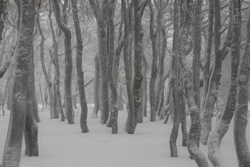 verschneite Laubbäume, Naturpark Frankenthal-Missheimle, Vogesen, Frankreich - SGF02224