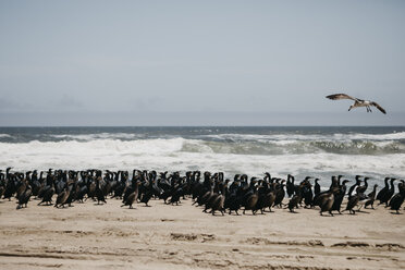 Namibia, Walvis Bay, Namib-Naukluft National Park, colony of birds at the sea - LHPF00426
