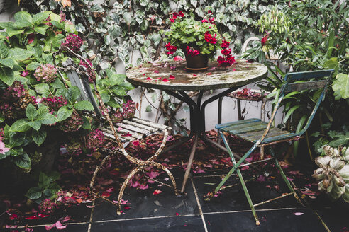 Red Pelargonium on vintage table in back garden, two rusty folding chairs and Hydrangea in plant pot. - MINF10240