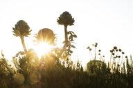 Close up of globe artichokes in garden at sunrise. - MINF10339