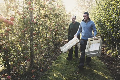 Two men walking in apple orchard, carrying wooden crates. Apple harvest in autumn. - MINF10342