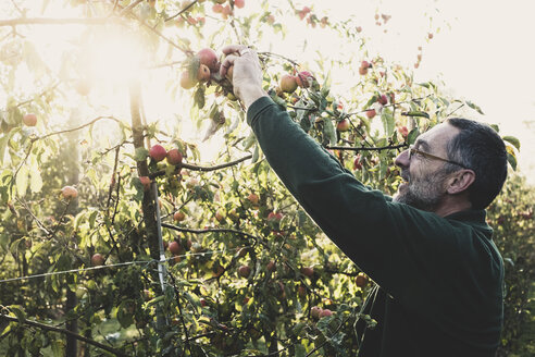 Man standing in apple orchard, picking apples from tree. Apple harvest in autumn. - MINF10345