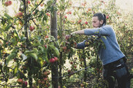 Man standing in apple orchard, picking apples from tree. Apple harvest in autumn. - MINF10348