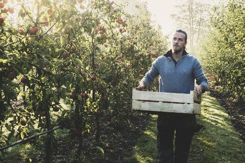 Man standing in apple orchard, holding crate with apples. Apple harvest in autumn. - MINF10351