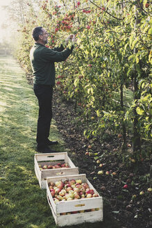 Man standing in apple orchard, picking apples from tree. Apple harvest in autumn. - MINF10354