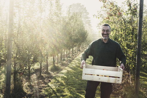 Smiling man standing in apple orchard, holding crate with apples, looking at camera. Apple harvest in autumn. - MINF10357
