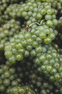 High angle close up of freshly picked bunches of green grapes at a vineyard. - MINF10384