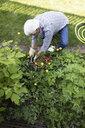 Senior man gardening, planting flowers in garden - HEROF12577