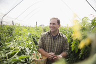 Smiling man with basket picking tomatoes in greenhouse - HEROF12982