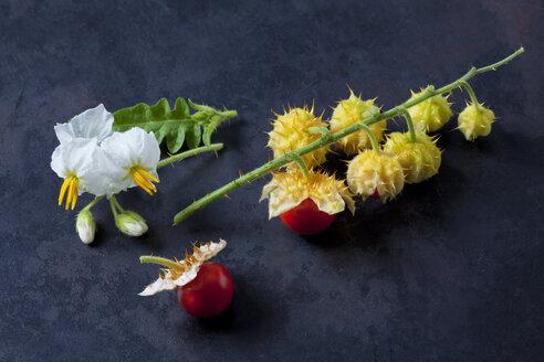Litschi Tomaten, Tomaten (Solanum sisymbriifolium), Zweig, Blüten, Stachel,Herkunft Süd und Mittelamerika, rot, grün, dunkler Untergrund - CSF29242
