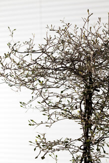 Twigs of Corokia cotoneaster in front of white background - CSF29251