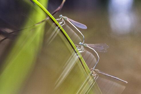 Three dragon flies on a twig - DSGF01789