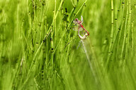 Two dragonflies in oviposition, close-up - DSGF01792