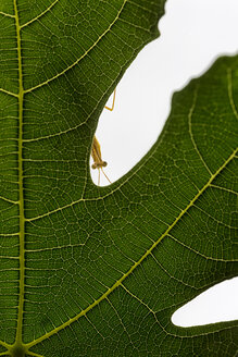 Spain, praying mantis peering out the leaf of a fig tree - DSGF01795