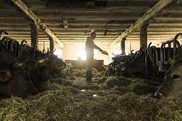 Farmer feeding his cows in traditional farm cowshed - SBOF01692
