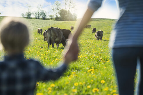 Mother and son holding hands and looking at cows grazing on a meadow with dandelions - SBOF01695
