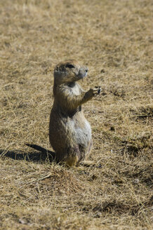 USA, Wyoming, portrait of a Wyoming ground squirrel - RUNF01051