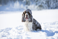 English Springer Spaniel with woolly hat sitting on snow-covered meadow - MAEF12786