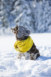 English Springer Spaniel wearing woolly hat and yellow scarf sitting on snow-covered meadow - MAEF12789