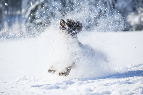English Springer Spaniel running on snow-covered meadow - MAEF12792