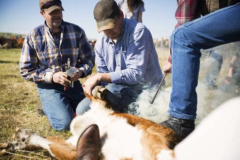 Cattle ranchers branding cow - HEROF17521