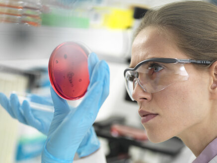 Scientist examining cultures growing in petri dishes in the laboratory - ABRF00310